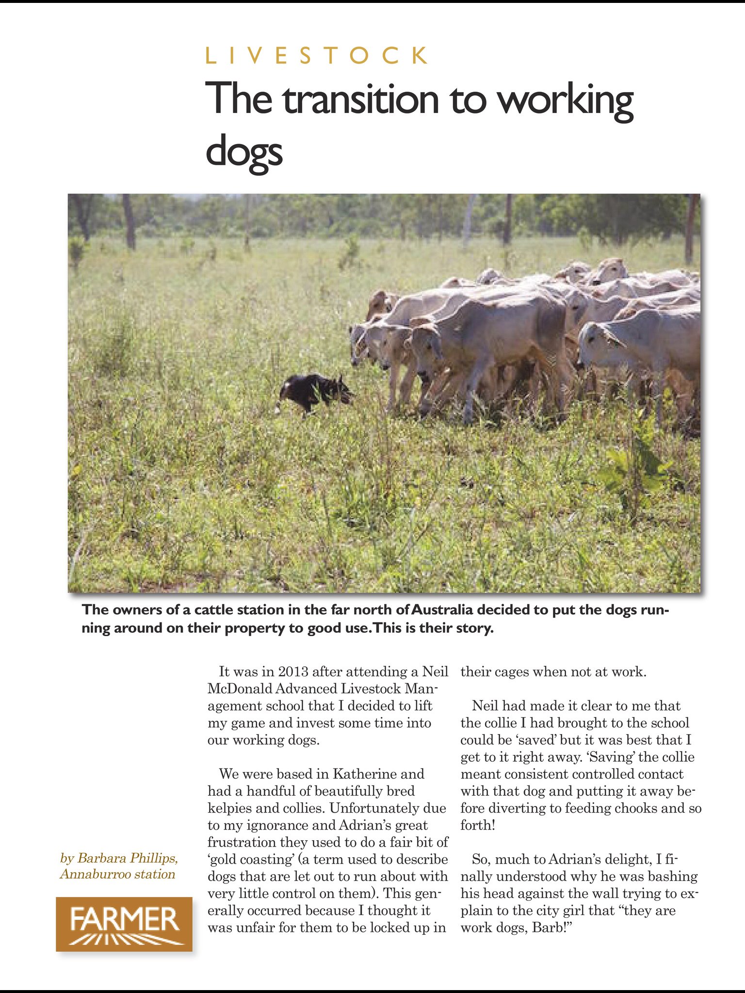 Working dogs on an Australian cattle station